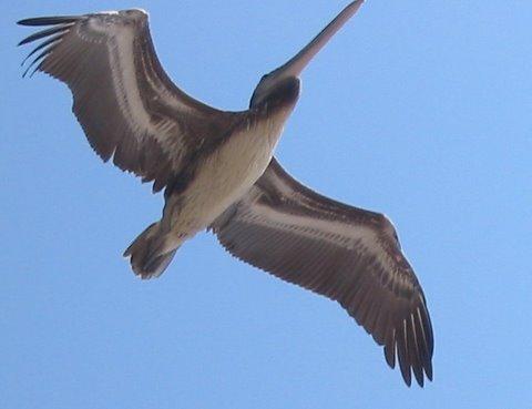 perfect-pelican-singular