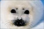 sealbaby