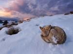 coyote-yellowstone_56393_600x450