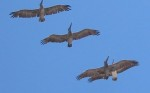birdwatching in Mazatlan